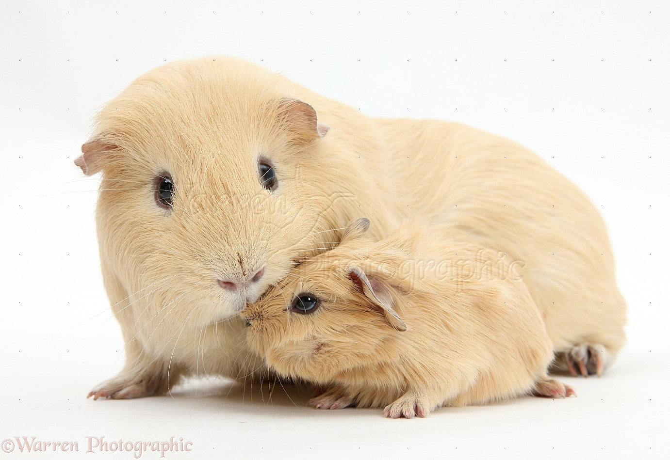 WP27495 Yellow mother and baby Guinea pigs.