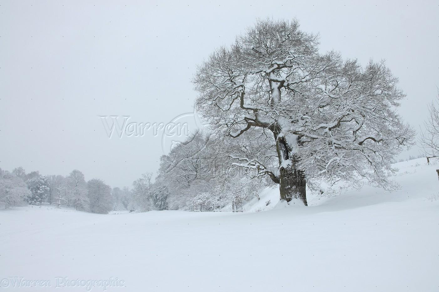 66b4d5632fba8 Oak tree with snow in Albury Park photo WP27514
