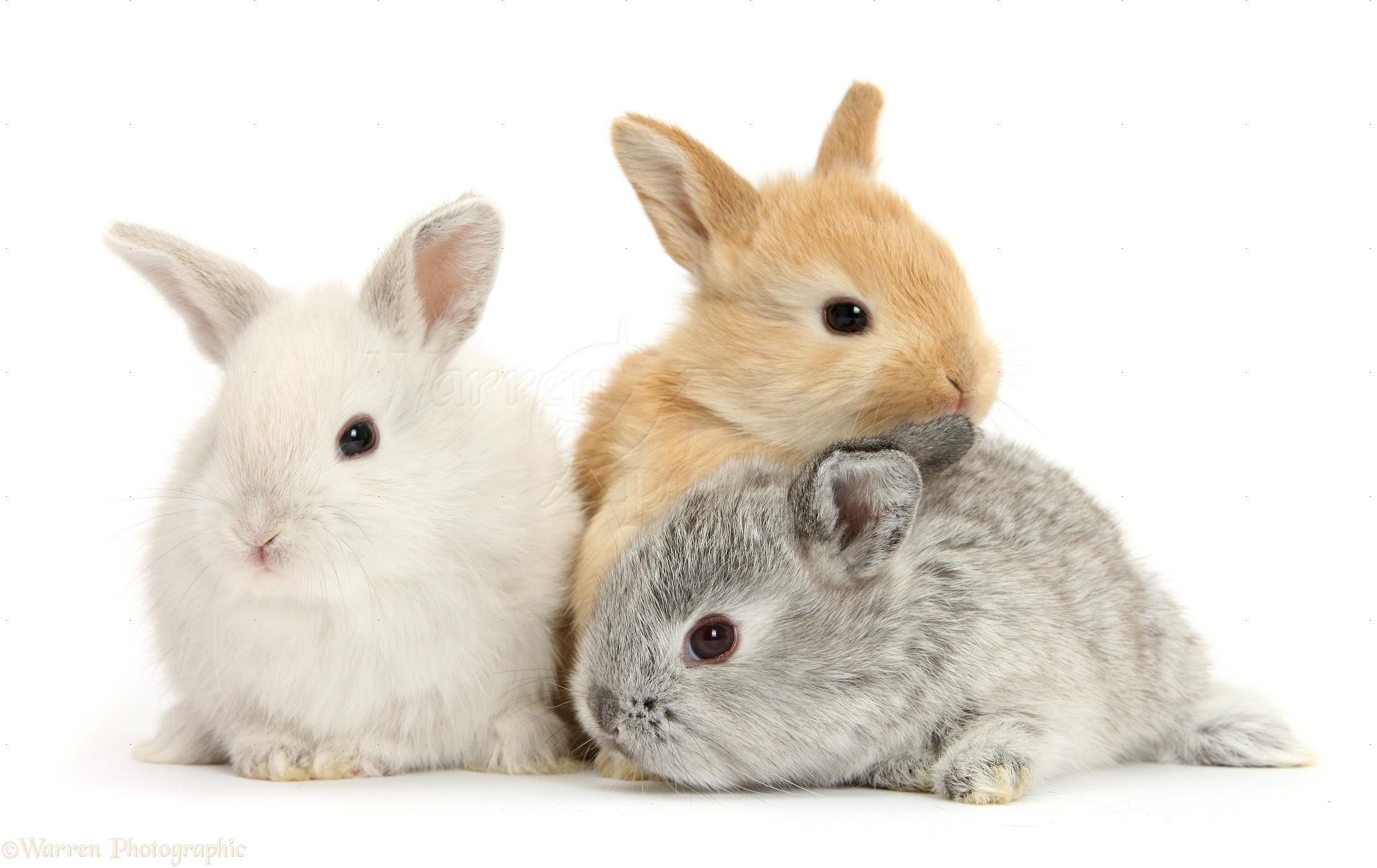 three cute baby lop rabbits photo wp27532