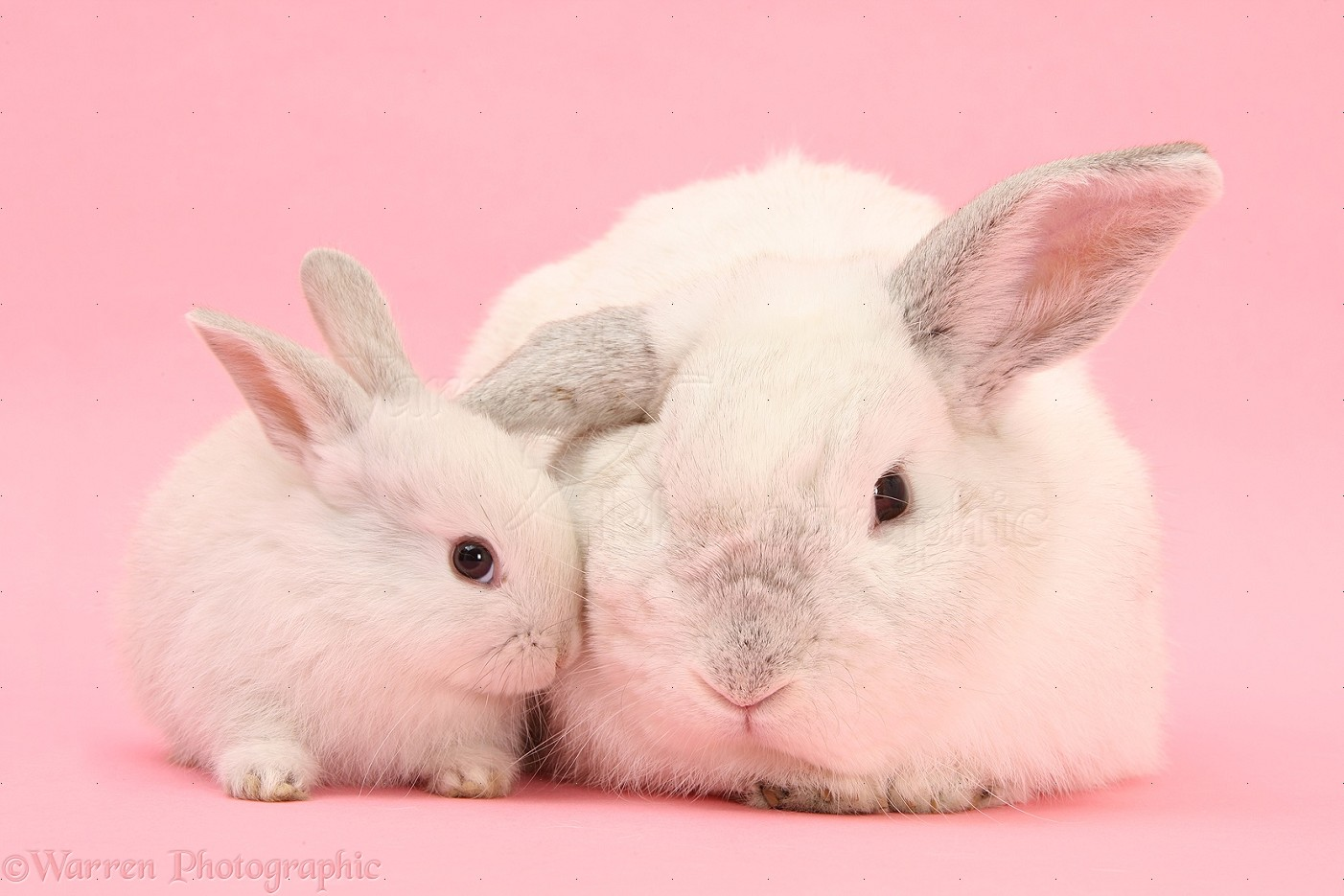 WP27540 White Lop rabbits on pink background.