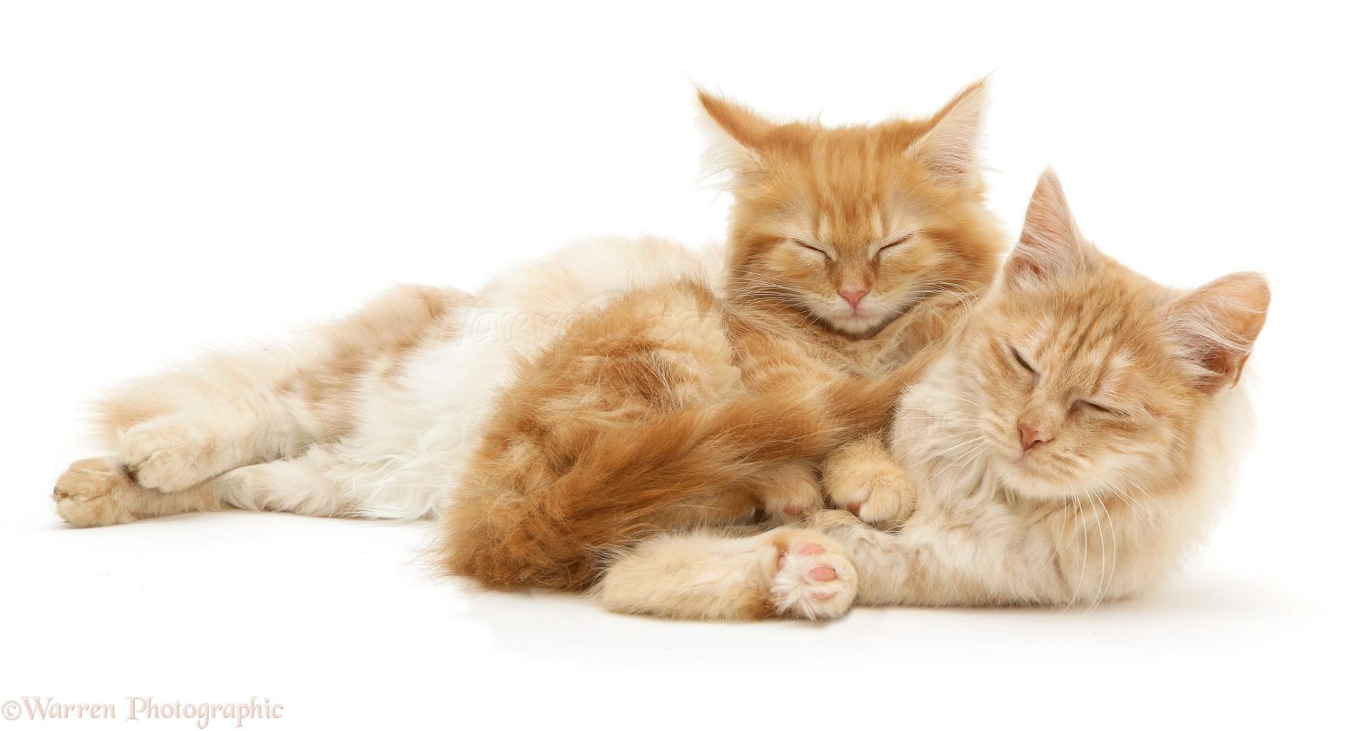 Sleepy Ginger Maine Coon Kitten And Angora Cat Photo Wp27626