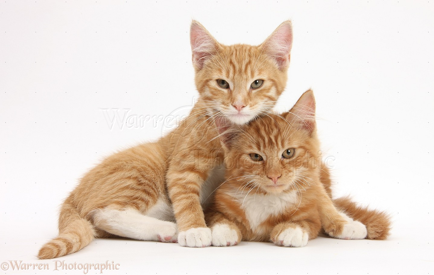 two ginger kittens lounging together photo   wp27646