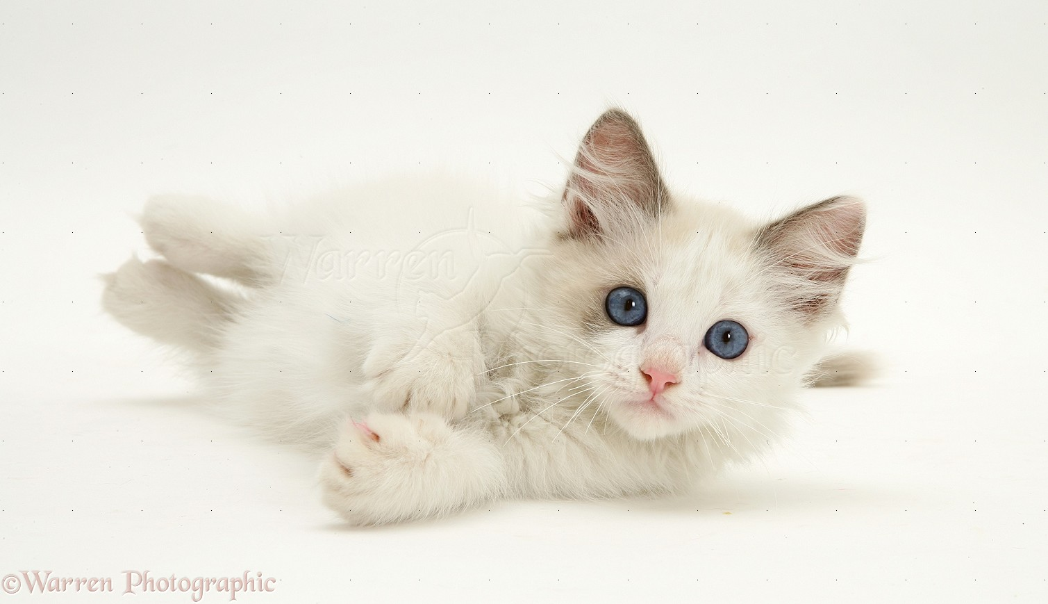 Kittens With Blue Eyes Funny Cat Dog Pictures