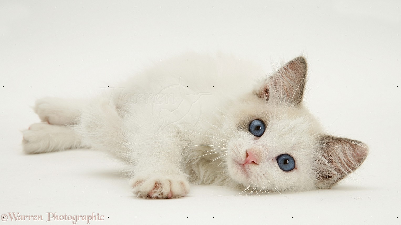 Cute Kittens images blue eyed kitties wallpaper and background