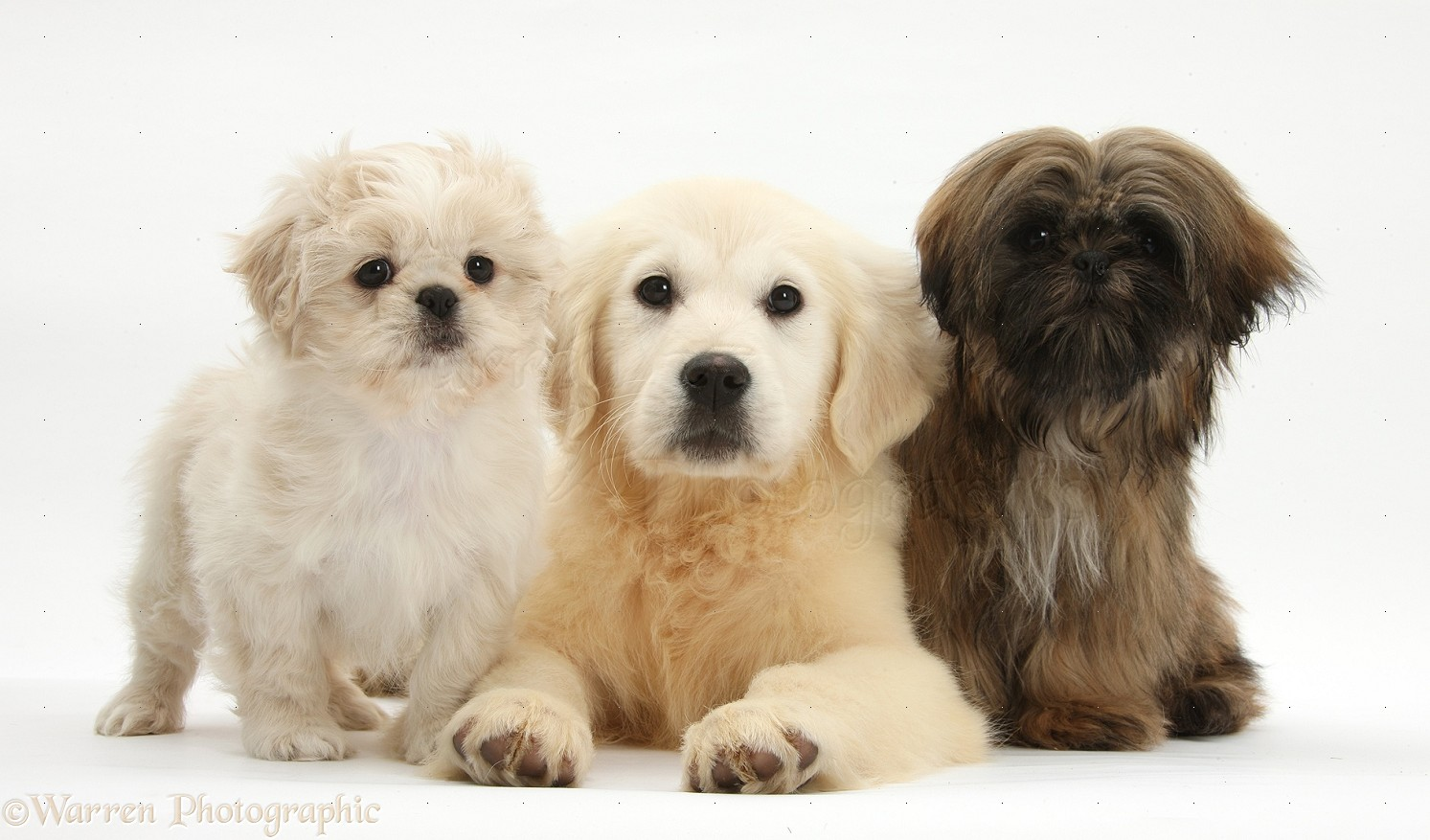 Dogs Golden Retriever Pup With Two Shih Tzus Photo Wp27702