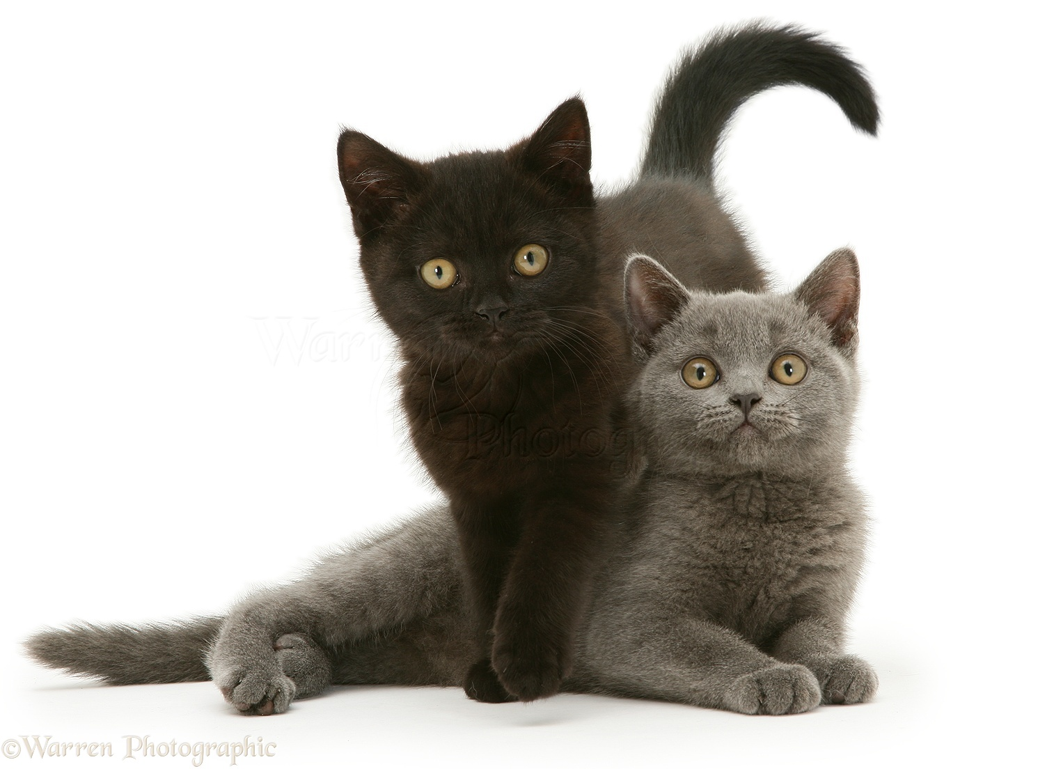 British Shorthair blue and black kittens photo WP