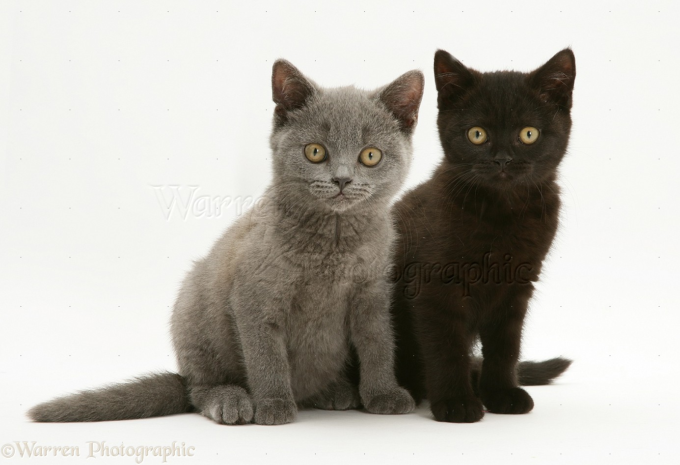 Black British Shorthair Cat Images