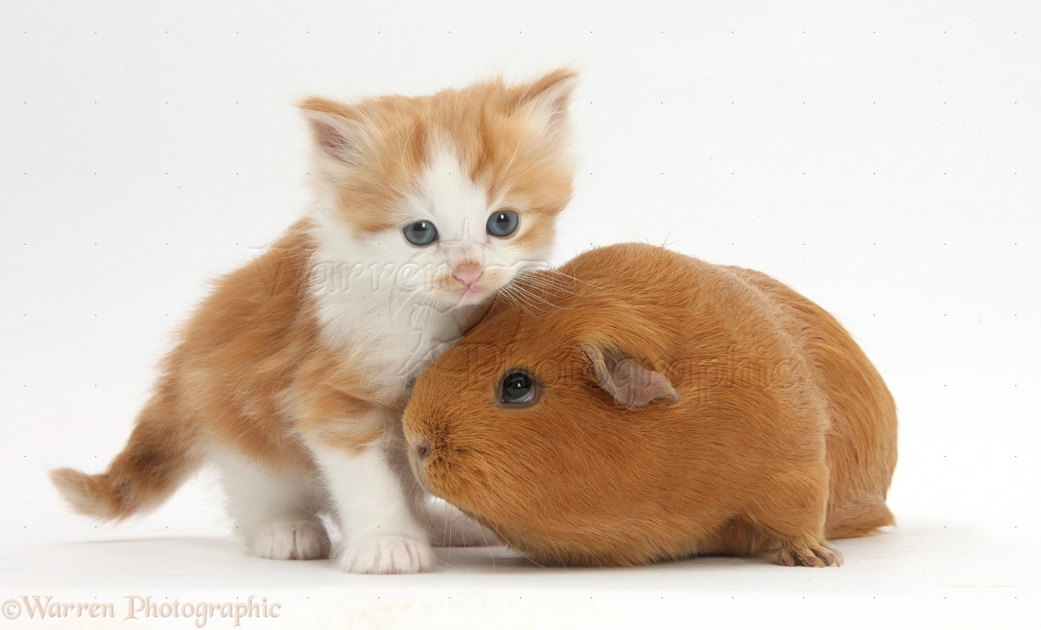 baby hamsters as pets