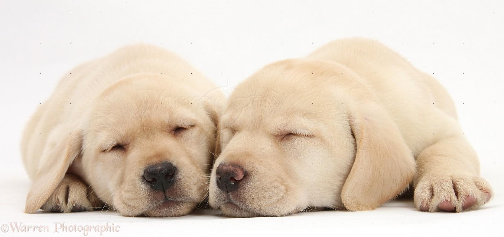 yellow lab puppy sleeping - photo #8