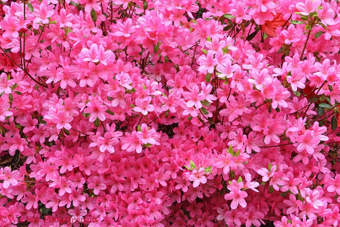 Wp27988 pink azalea flowers