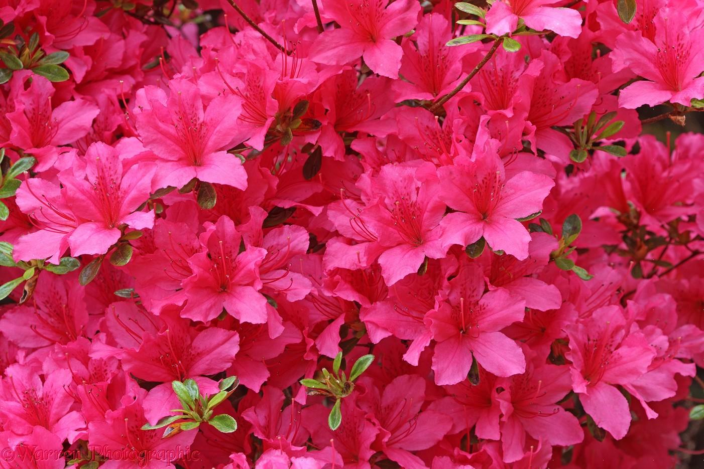 Wp27989 pink azalea flowers