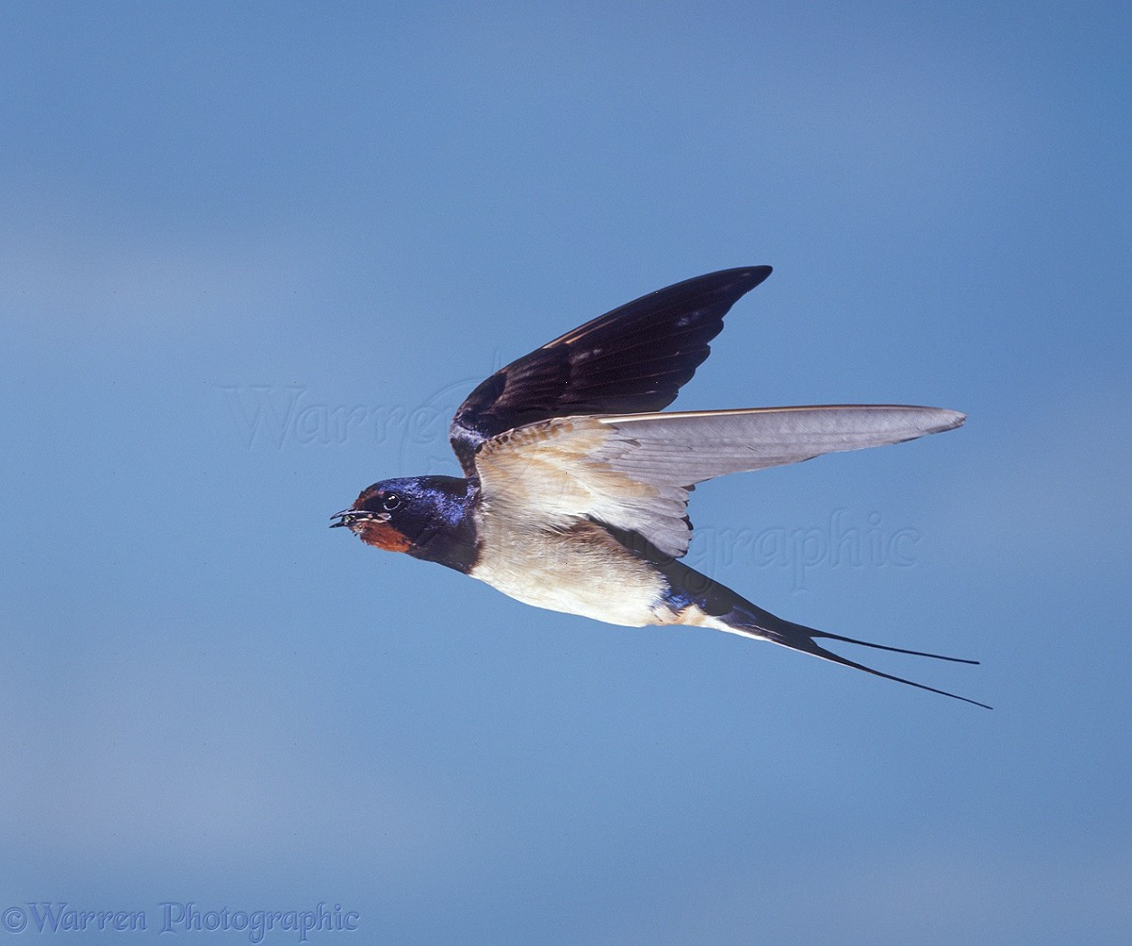 Swallow In Flight Photo Wp28018