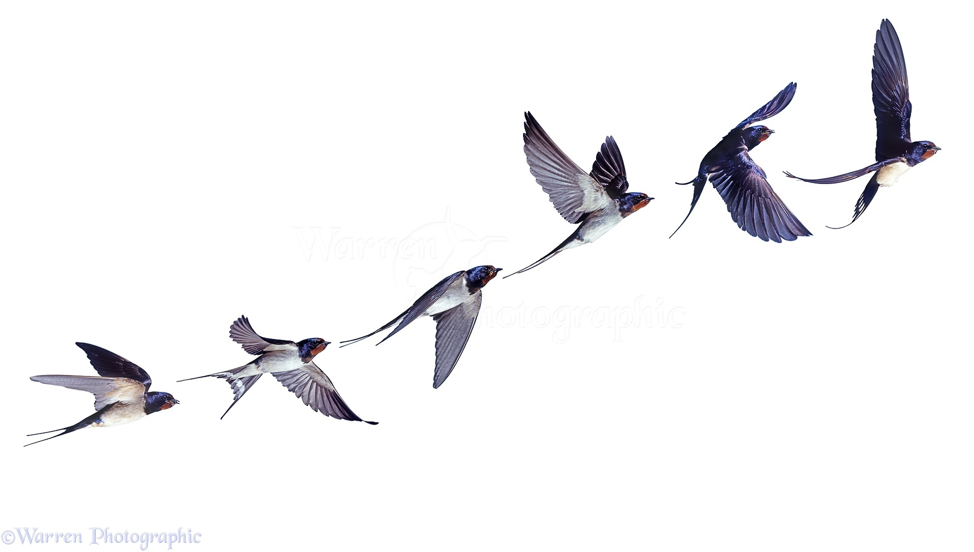 Swallow In Flight Series Photo Wp28019