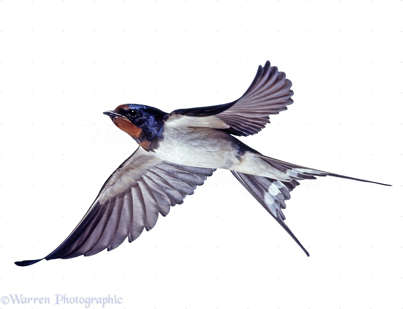 Swallow in flight photo - WP28020