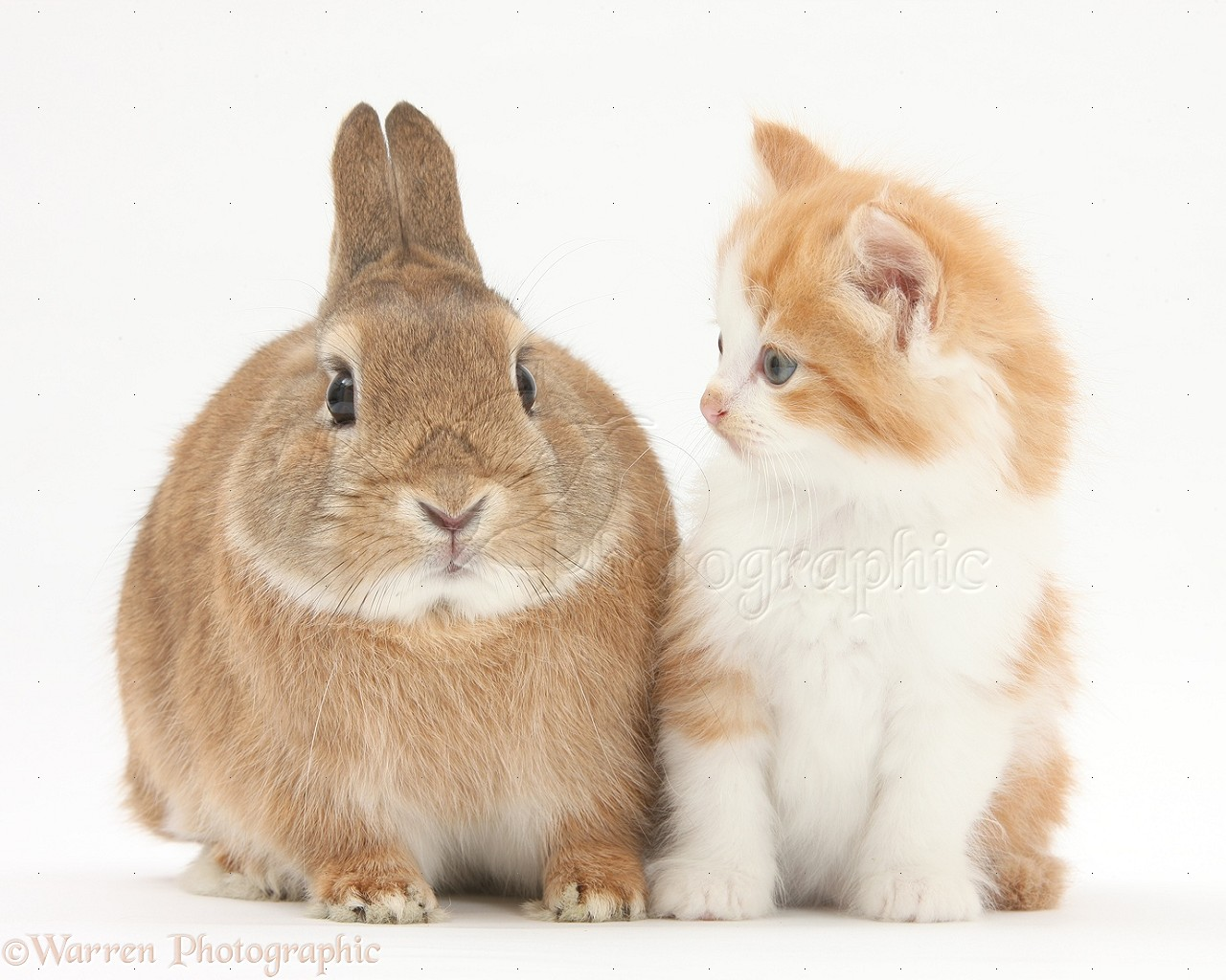 Pets Ginger And White Kitten And Rabbit Photo Wp28036