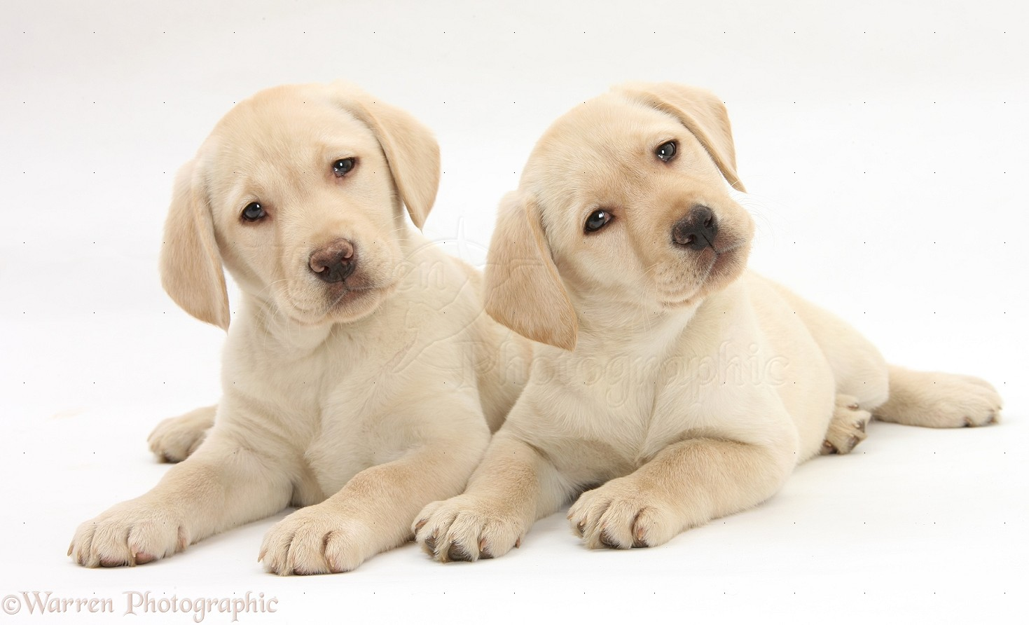 Wp28058 yellow labrador retriever puppies 9 weeks old
