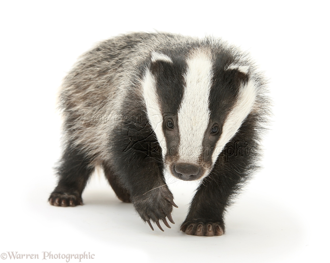 WP28065 Young Badger (...