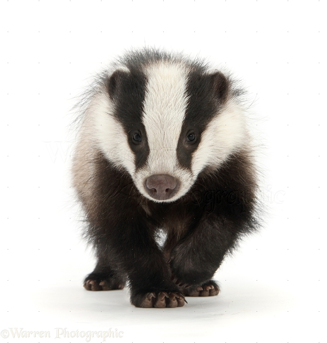 young badger