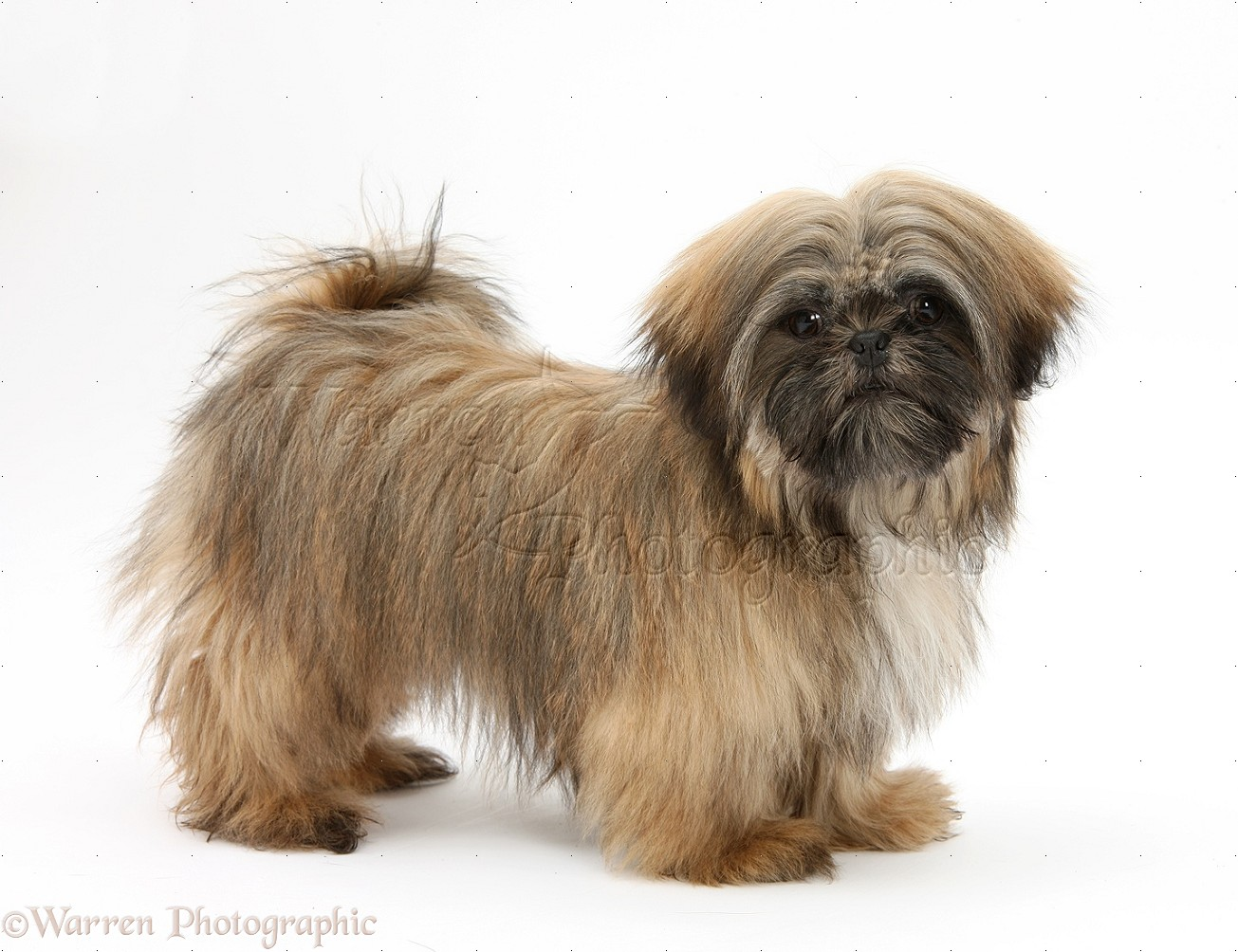 Dog Brown Shih Tzu Photo Wp28129