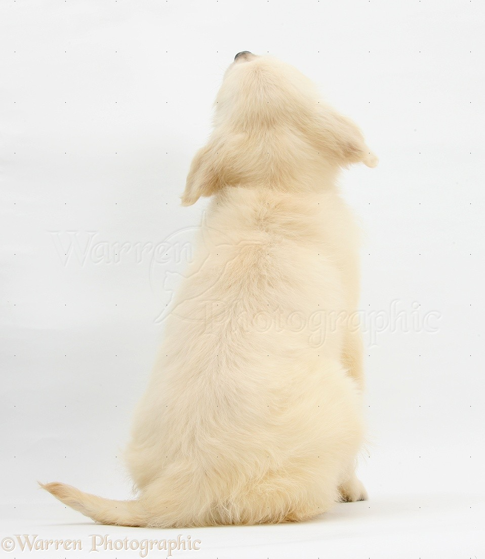 WP28134 Golden Retriever pup, Daisy , 16 weeks old, back view.