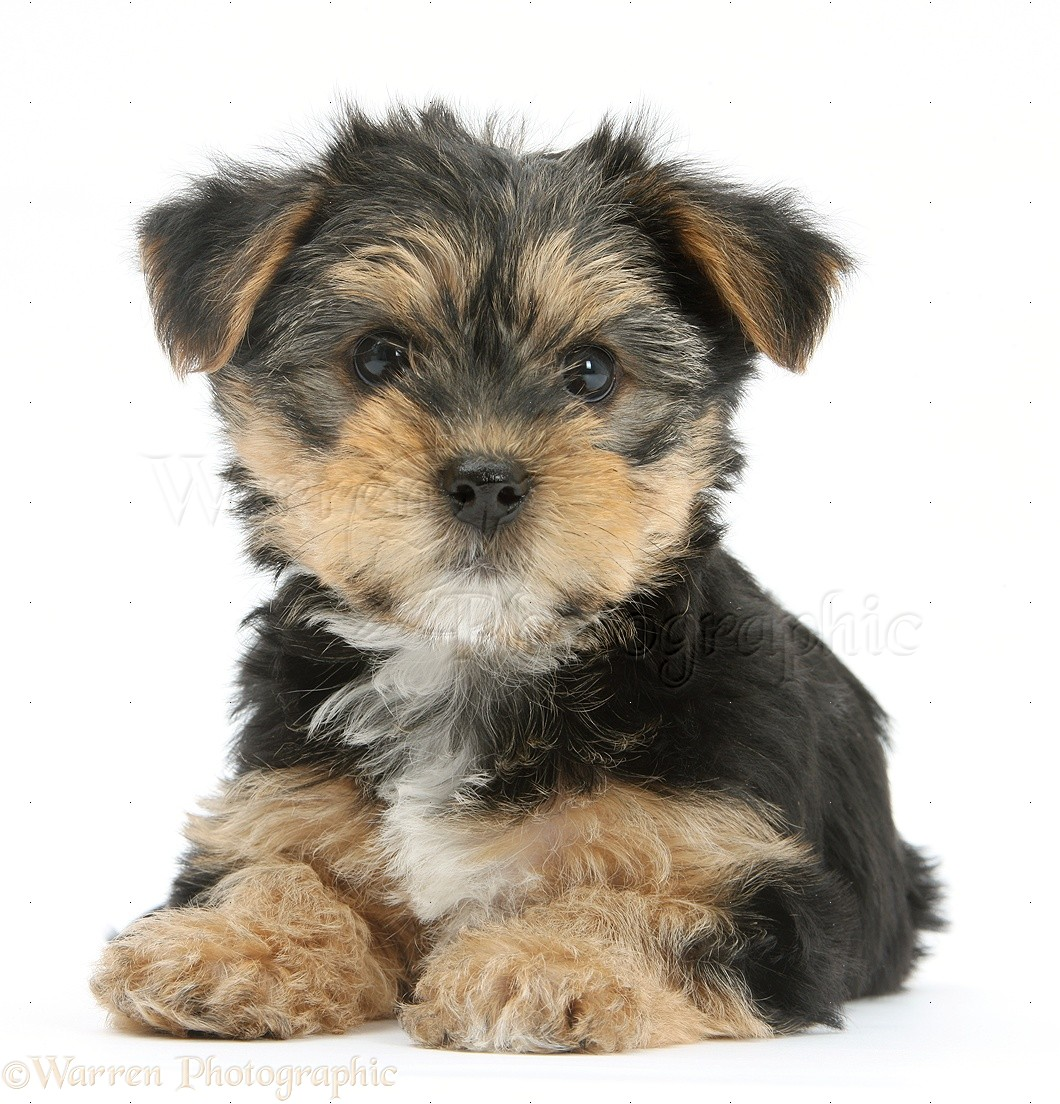Bichon Yorkie Shih Tzu Cross Puppies For Sale In Edmonton Alberta ...