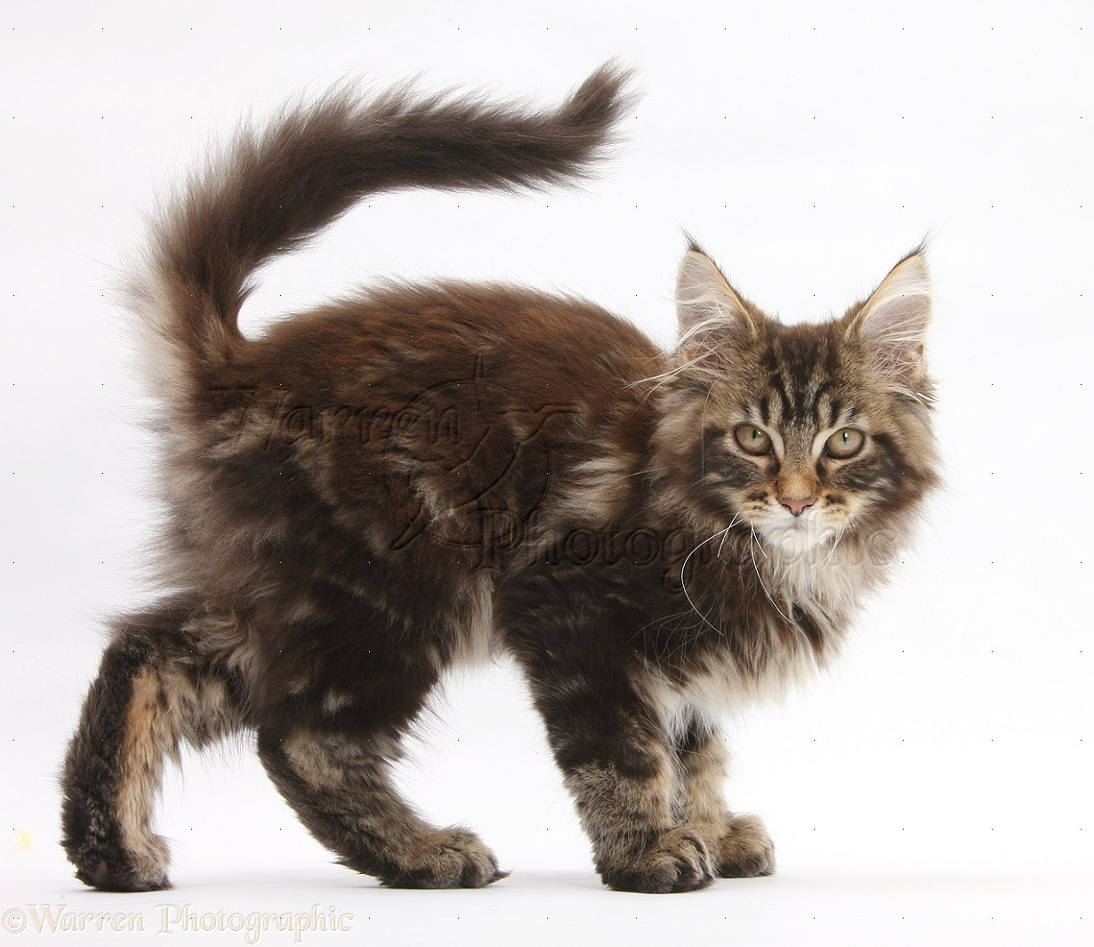 Maine Coon Kittens Uk >> Maine Coon kitten photo WP28385