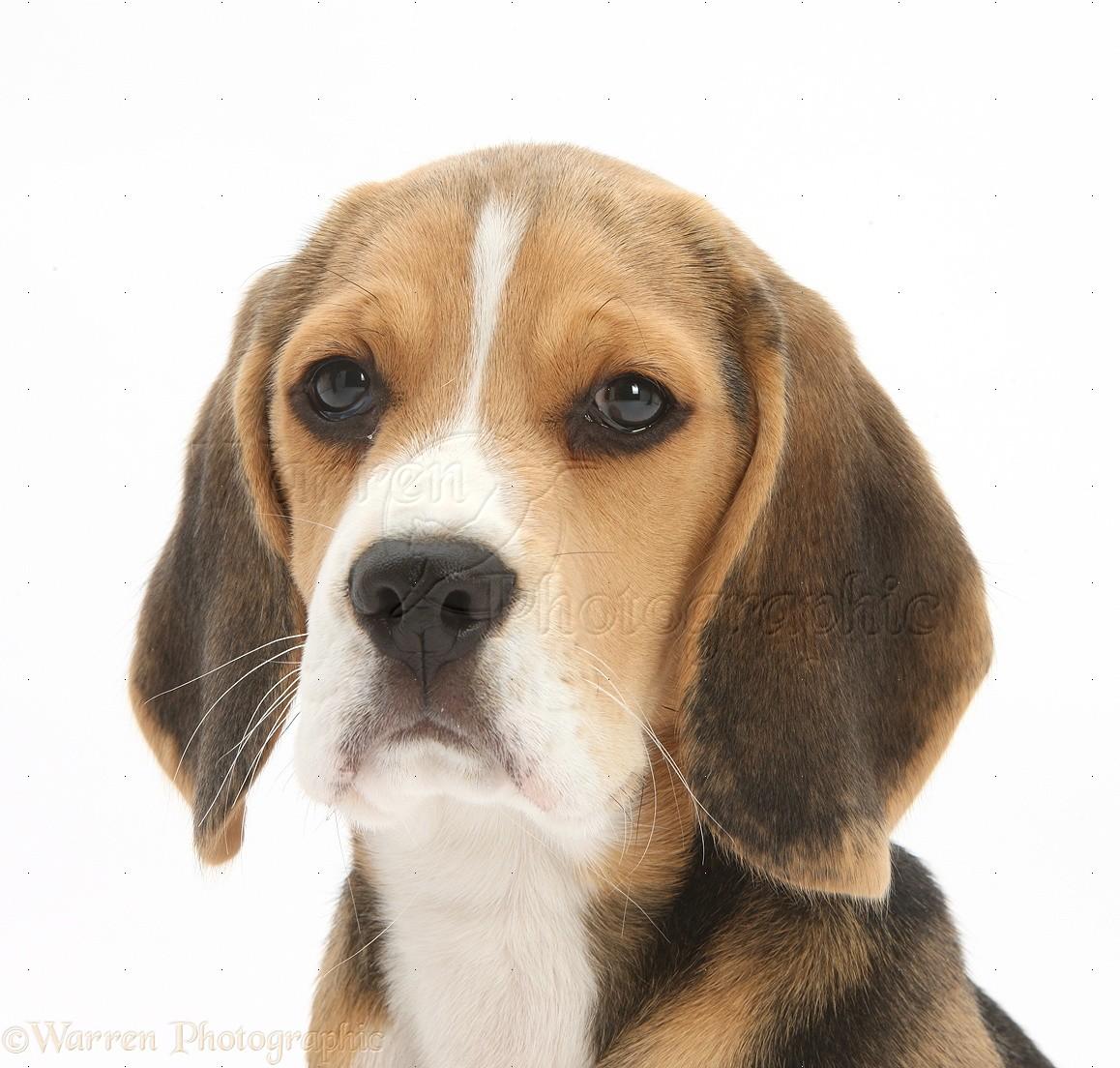 Dog Beagle Pup Photo Wp28396