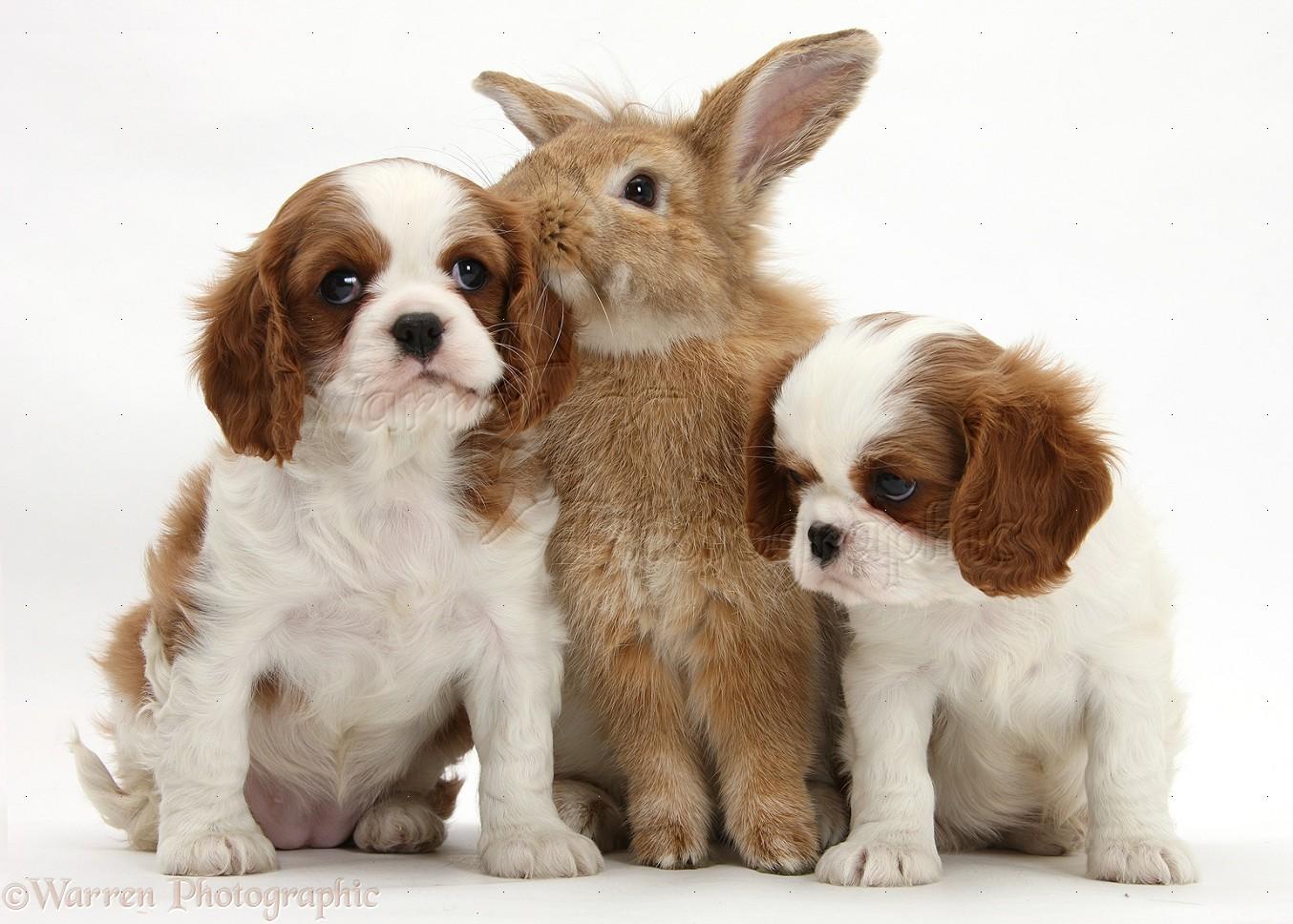 Pets cavalier king charles spaniel pups and rabbit photo wp28454 blenheim cavalier king charles spaniel pups with sandy lionhead rabbit white background altavistaventures Gallery