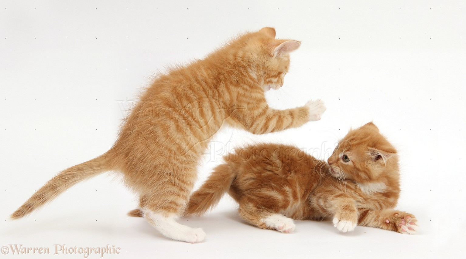 Ginger kittens play-fighting photo - WP28525