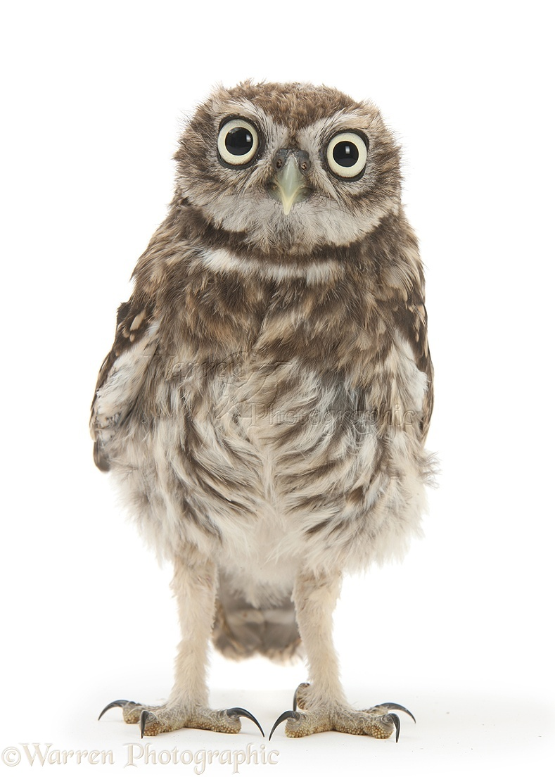 Young Little Owl Photo Wp28612