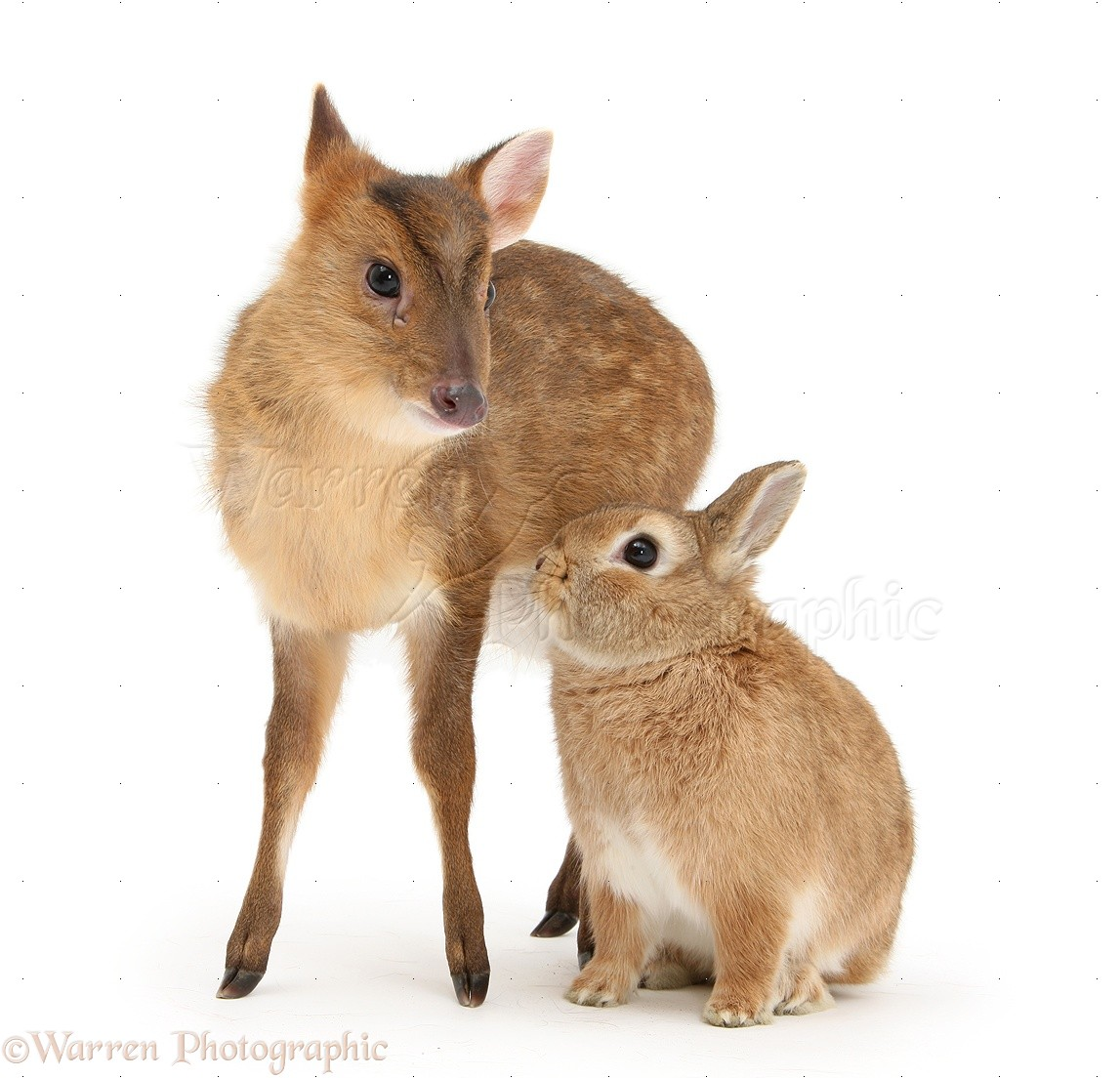 muntjac deer fawn and sandy rabbit photo wp28663