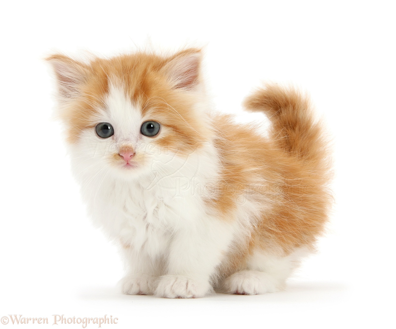 Cute White Baby Cats Images