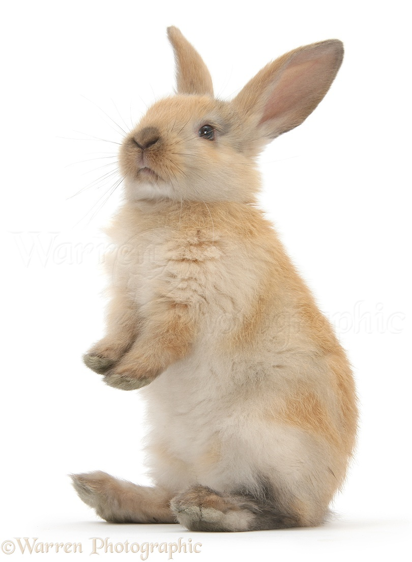 young rabbit standing up photo   wp28776