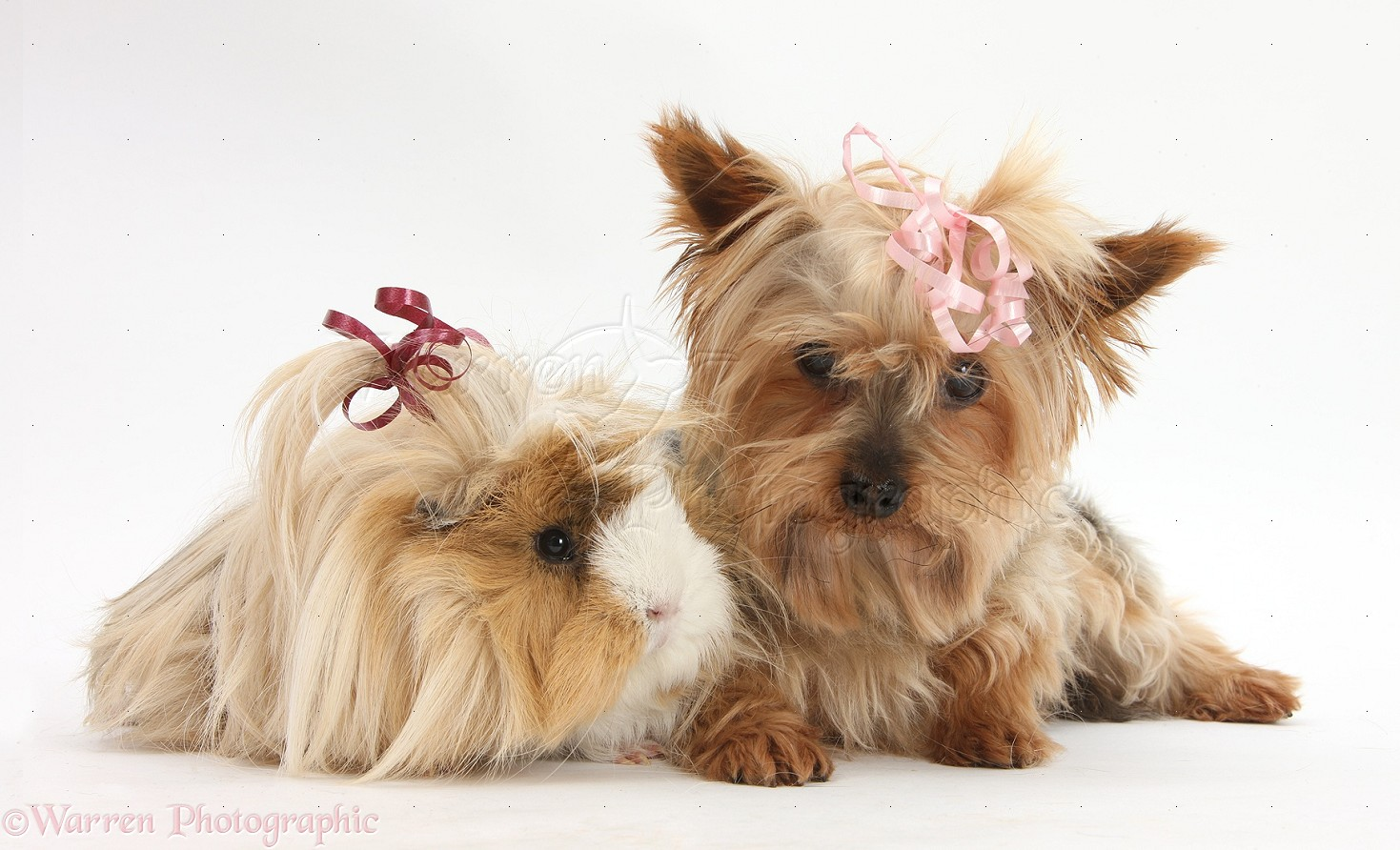 Pets Yorkie And Guinea Pig With Bows In Their Hair Photo Wp28886