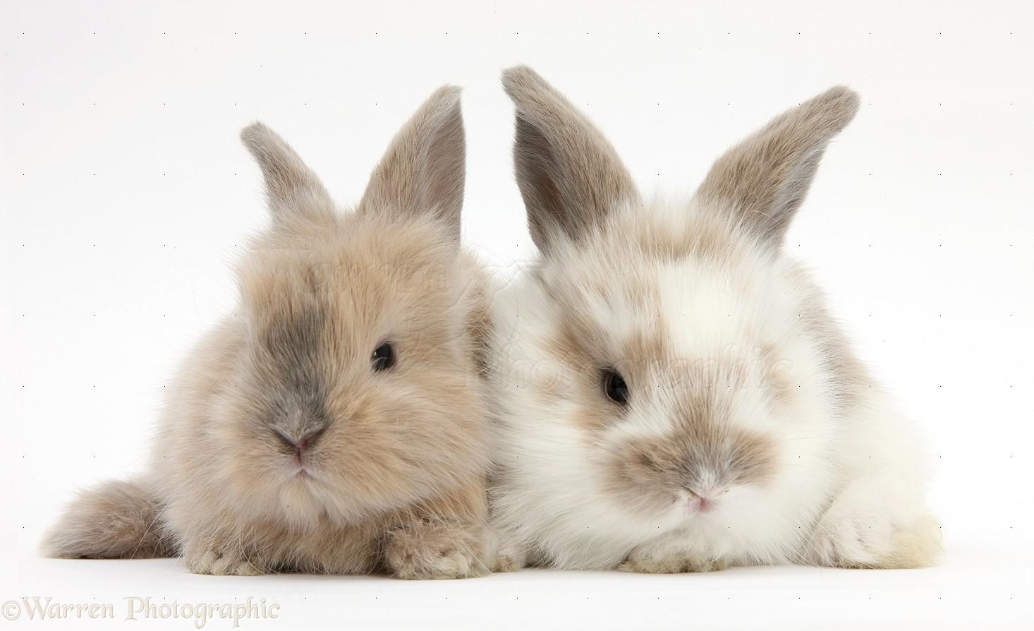 baby lionhead cross rabbits photo wp28890