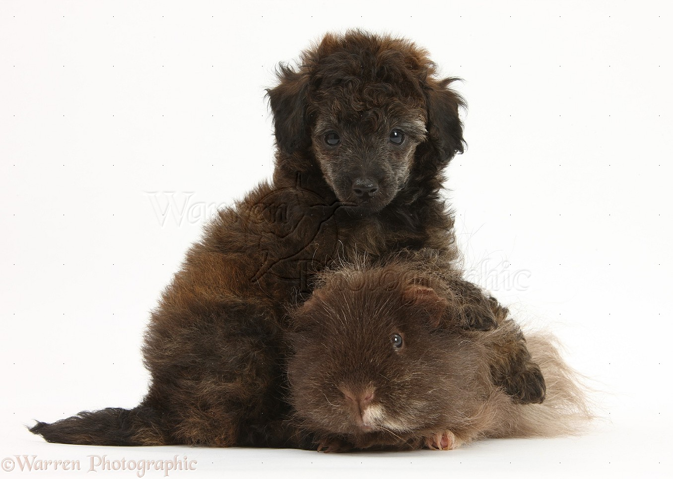 Pets: Red merle Toy Poodle pup and shaggy Guinea pig photo - WP28899