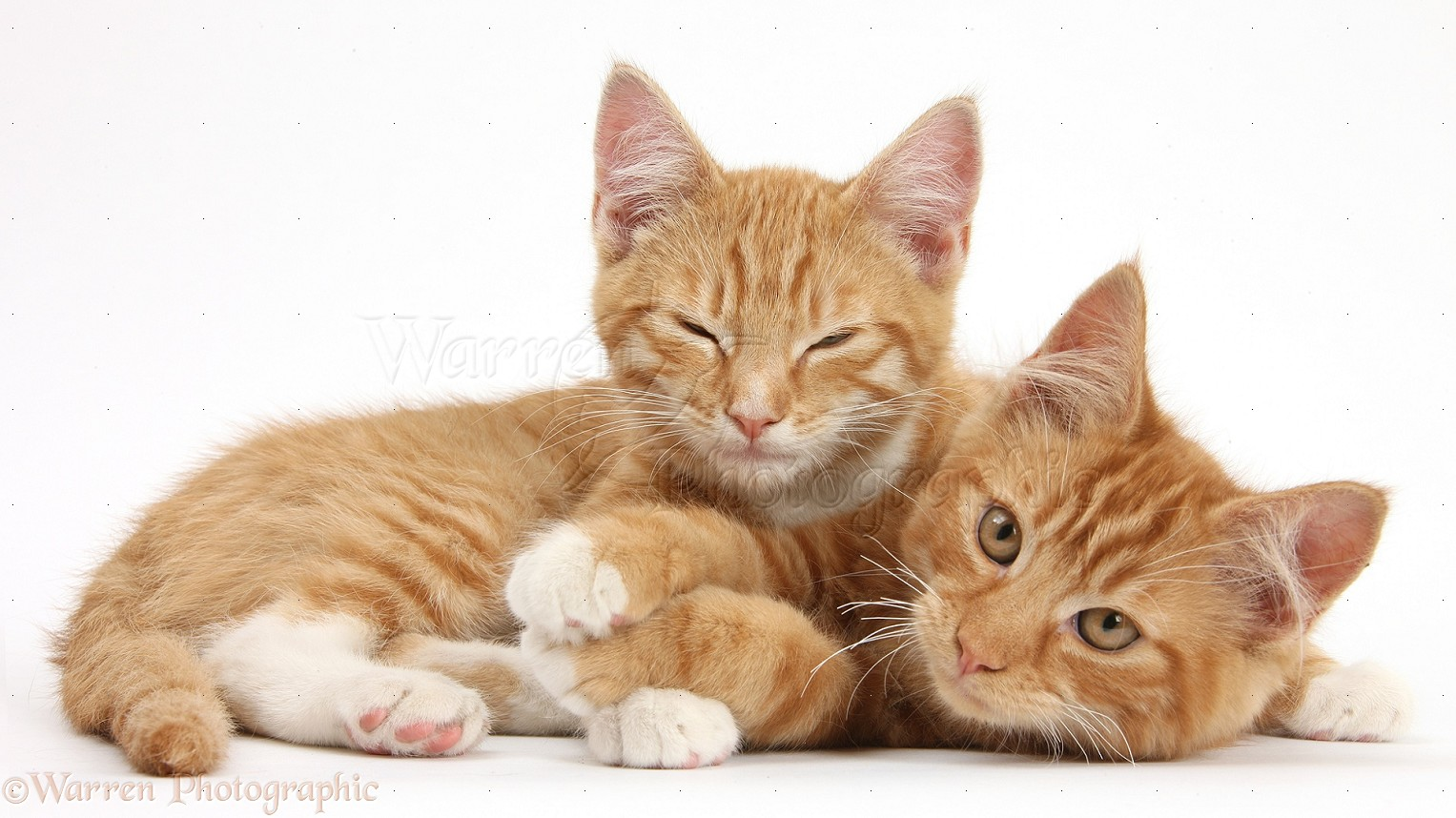two ginger kittens lounging together photo   wp28901
