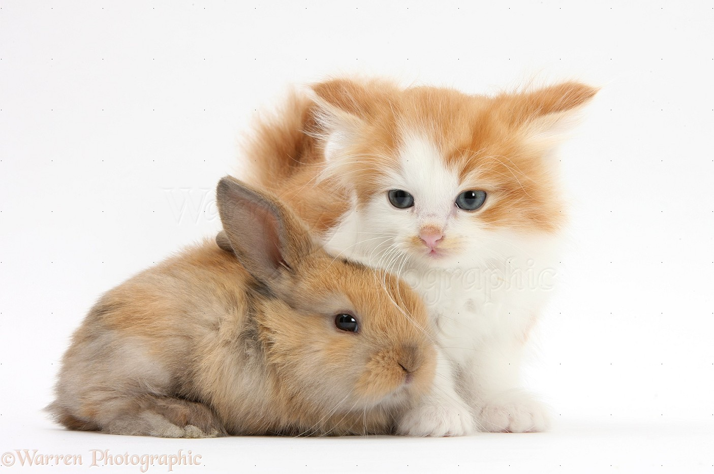 Pets Ginger and white kitten baby rabbit photo WP