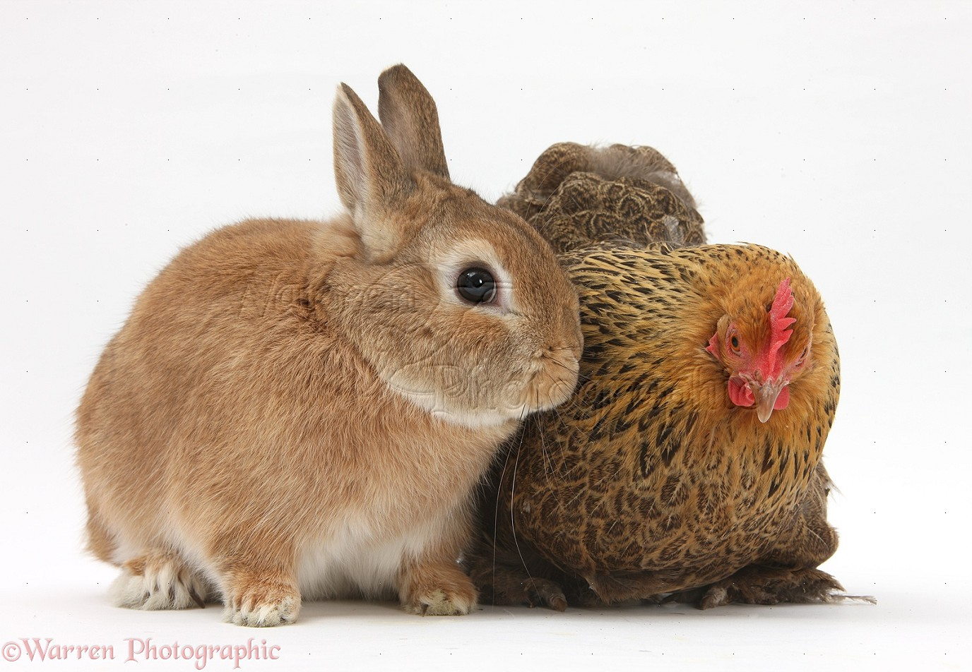 Rabbits & Chickens don't mix