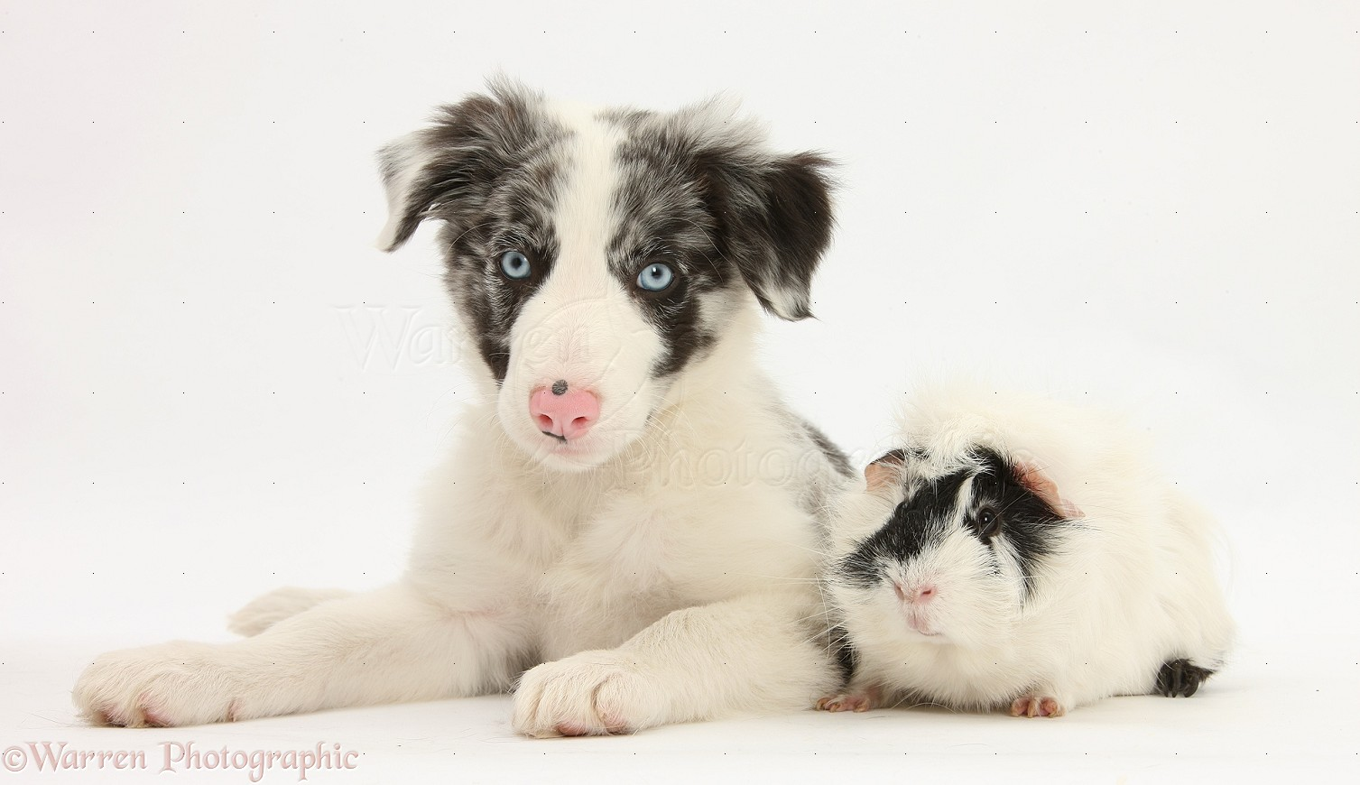 Pin images blue merle border collie dekreu reu wallpaper on pinterest -  27 Pin Blue Merle Border Collie Puppy On Pinterest