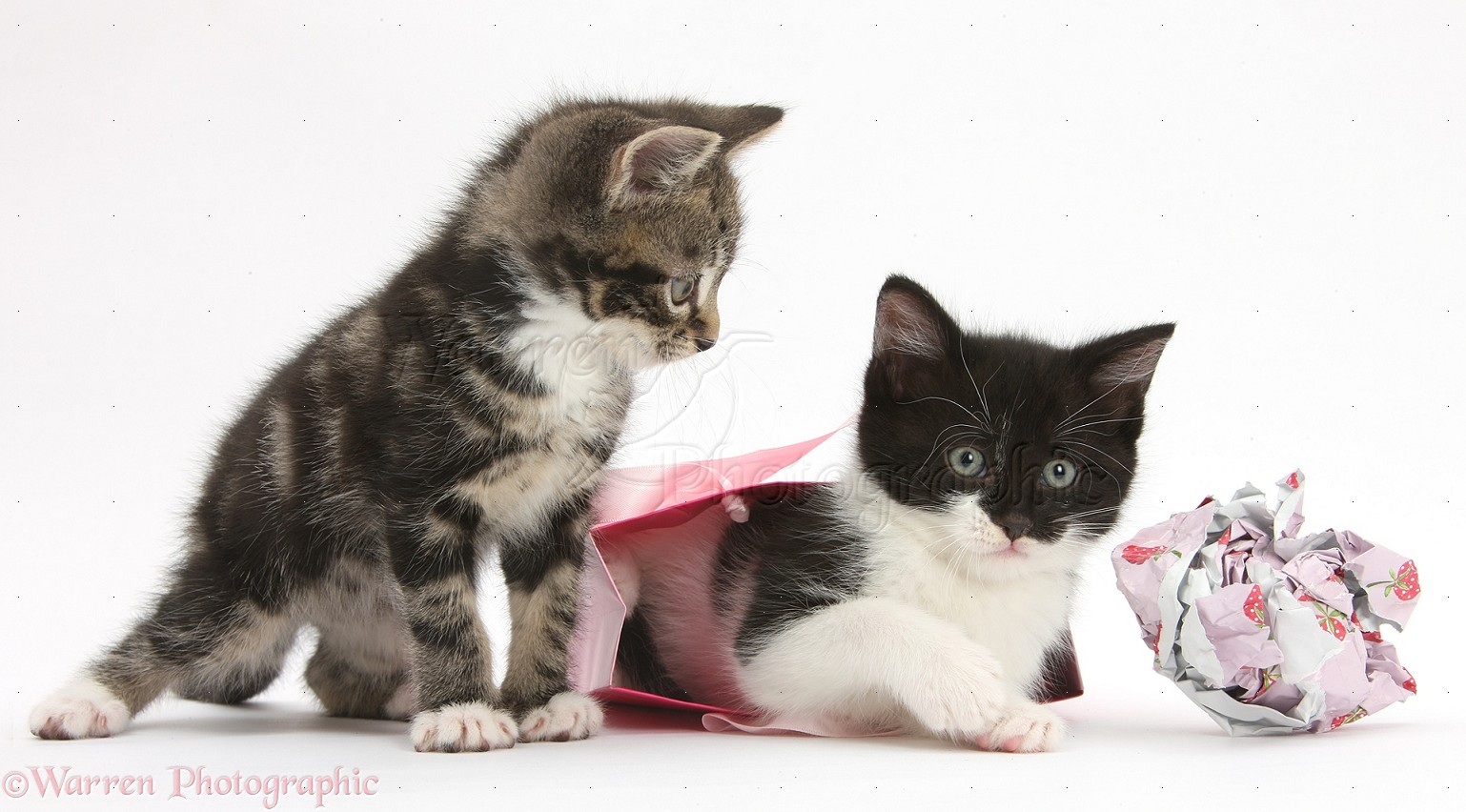 ... -and-white kittens playing with birthday gift bag and wrapping paper