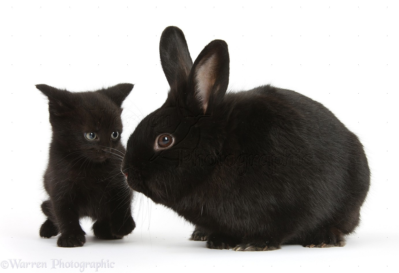 Giant Chinchilla Rabbit Pets: Black kitten, 7 ...