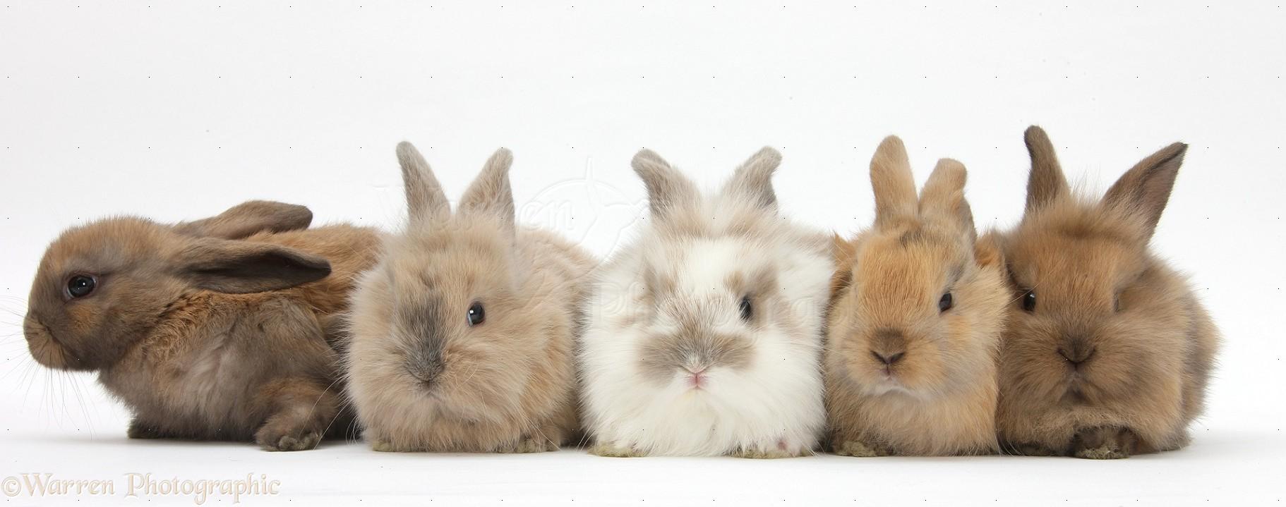 five baby lionhead cross rabbits photo   wp29030