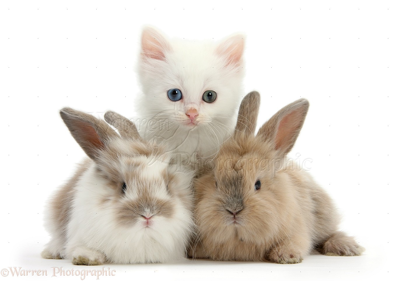 Pets: White kitten and baby rabbits photo WP29031