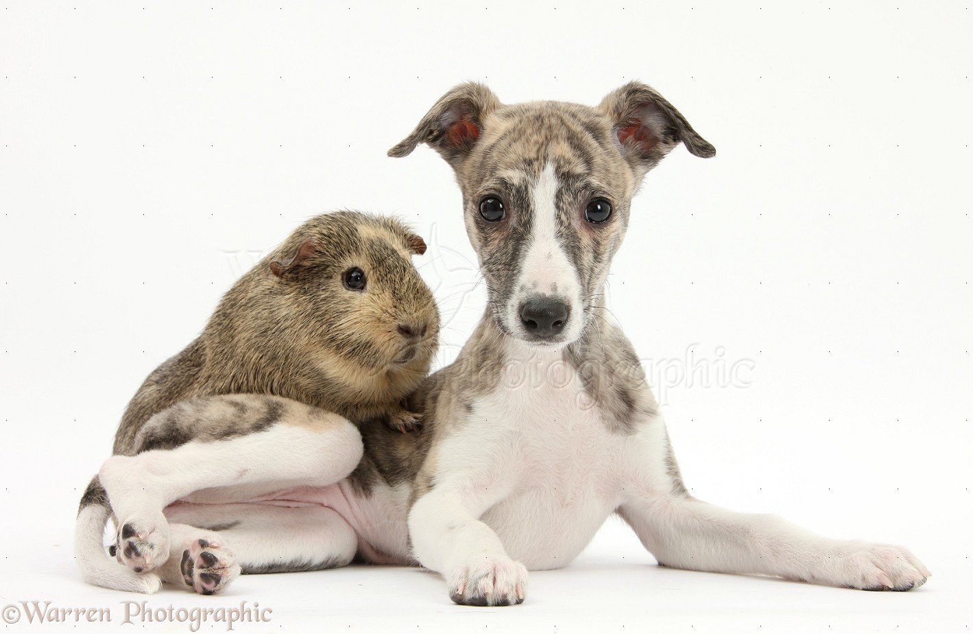 Whippet 29075-Brindle-and-white-Whippet-pup-and-Guinea-pig-white-background