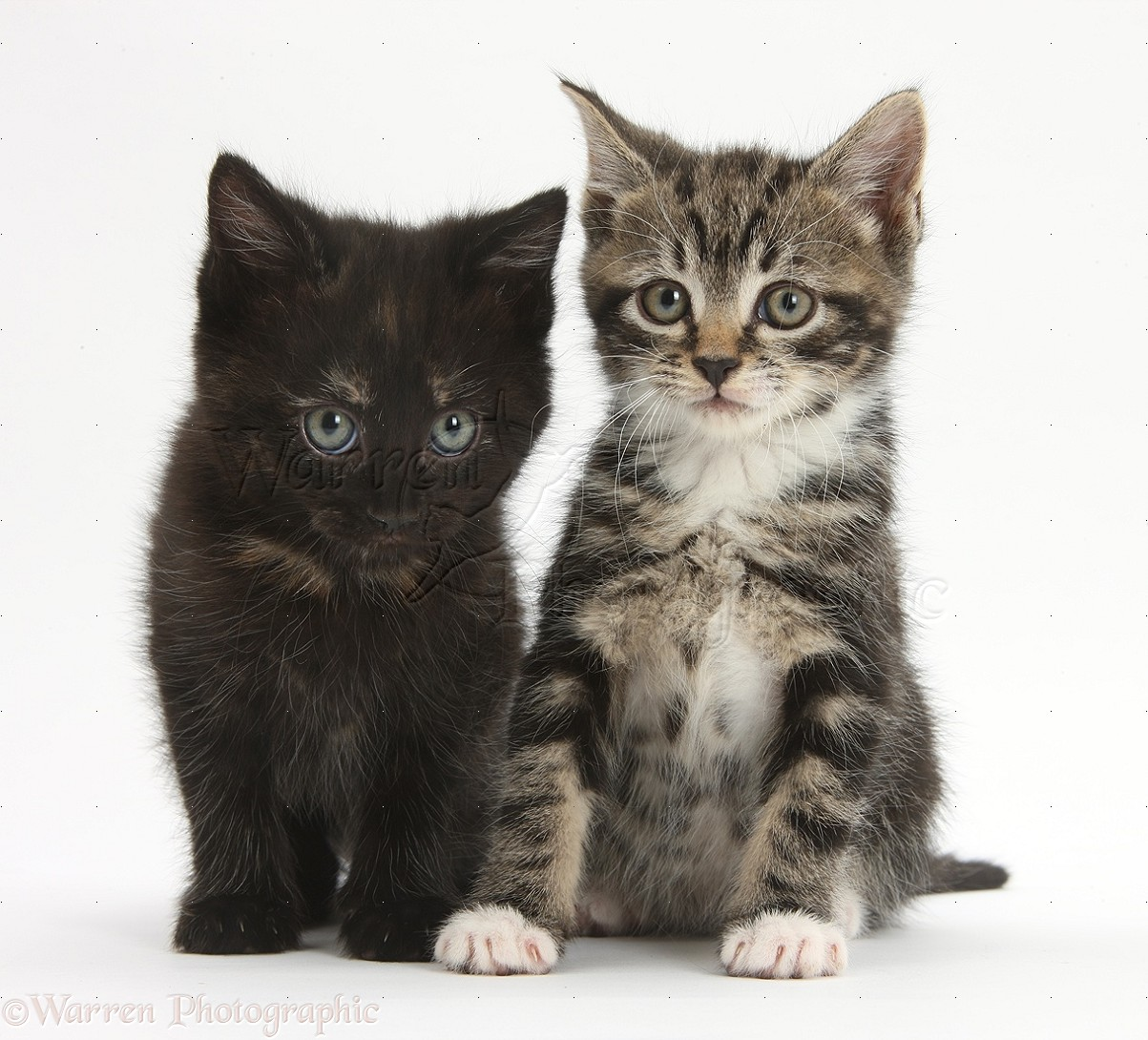 Tabby and black kittens photo WP