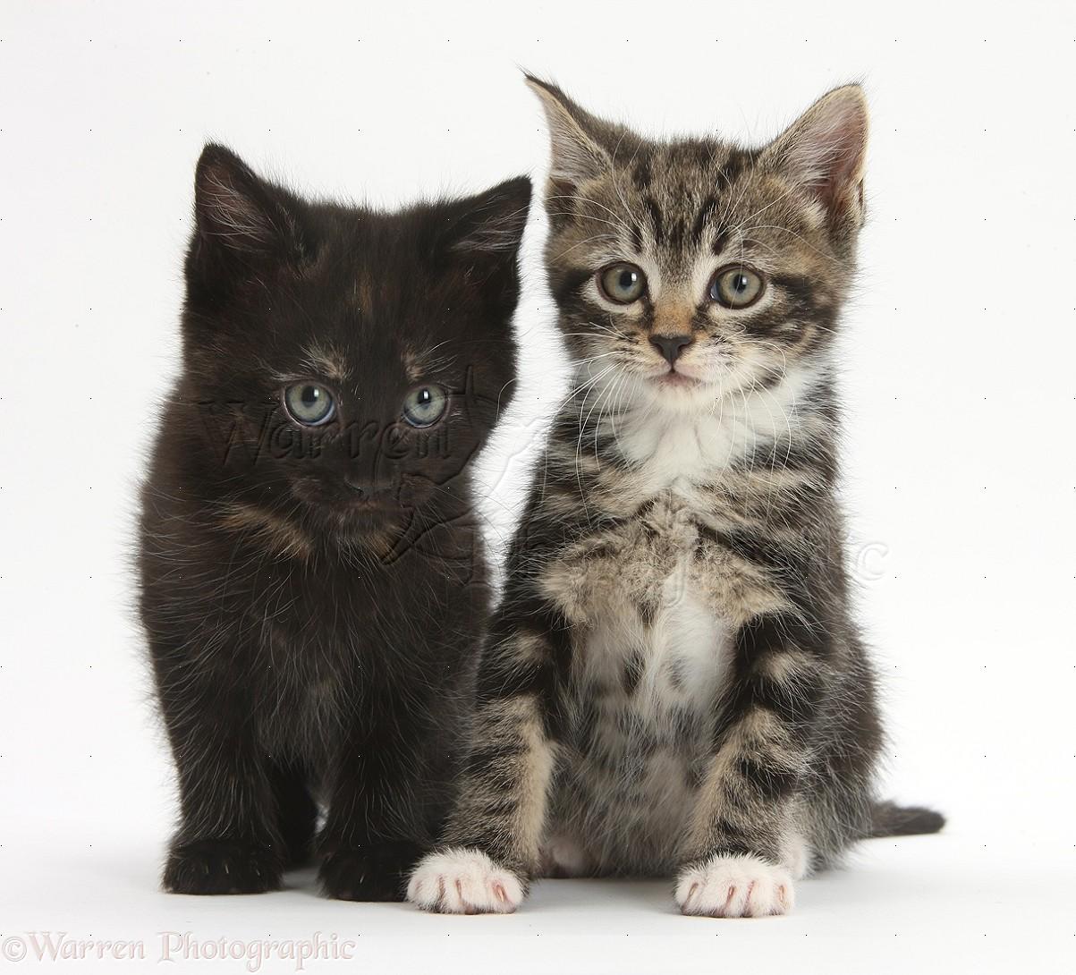 Black Shorthair Cat Lifespan