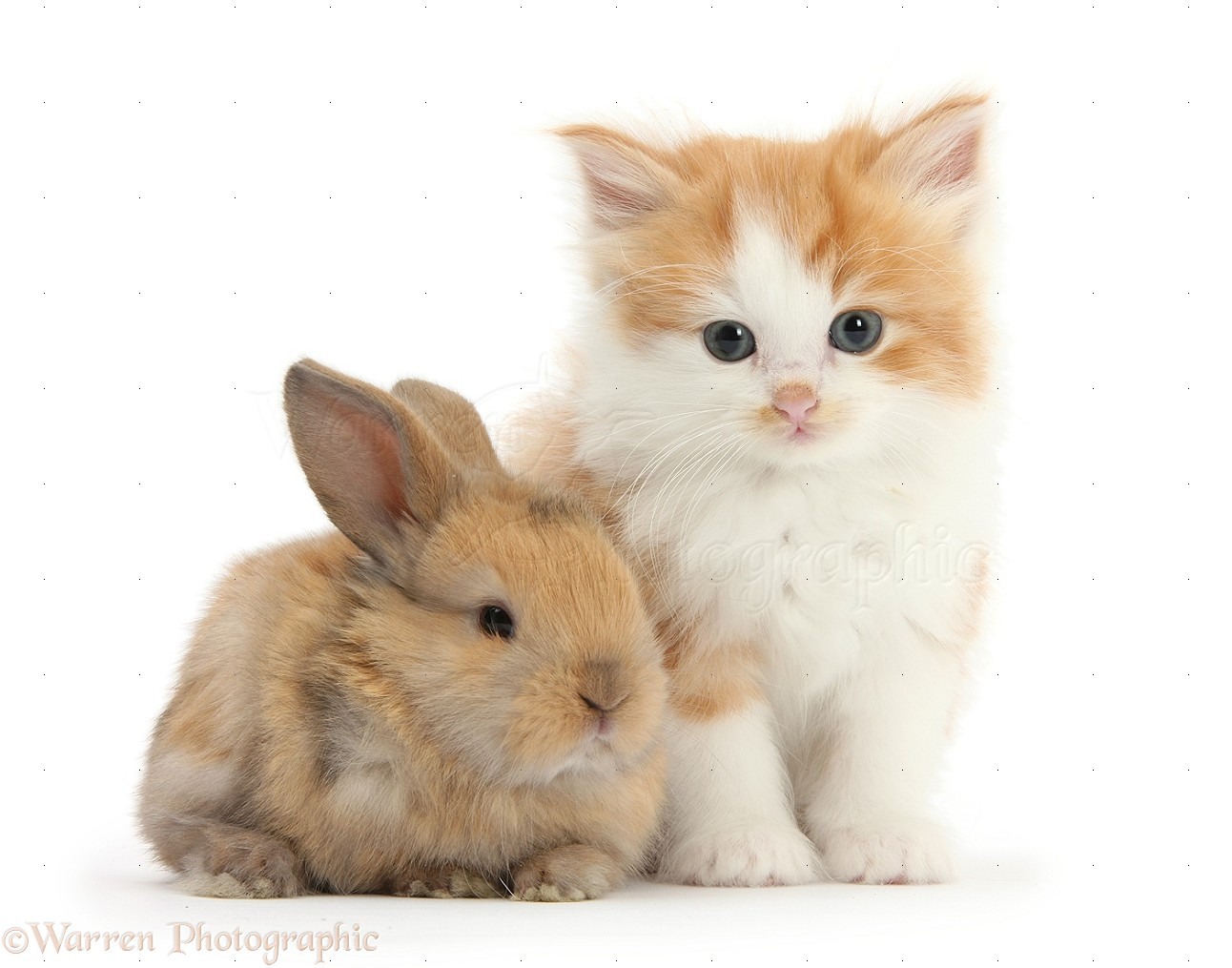 Pets Ginger and white kitten with a baby rabbit photo WP