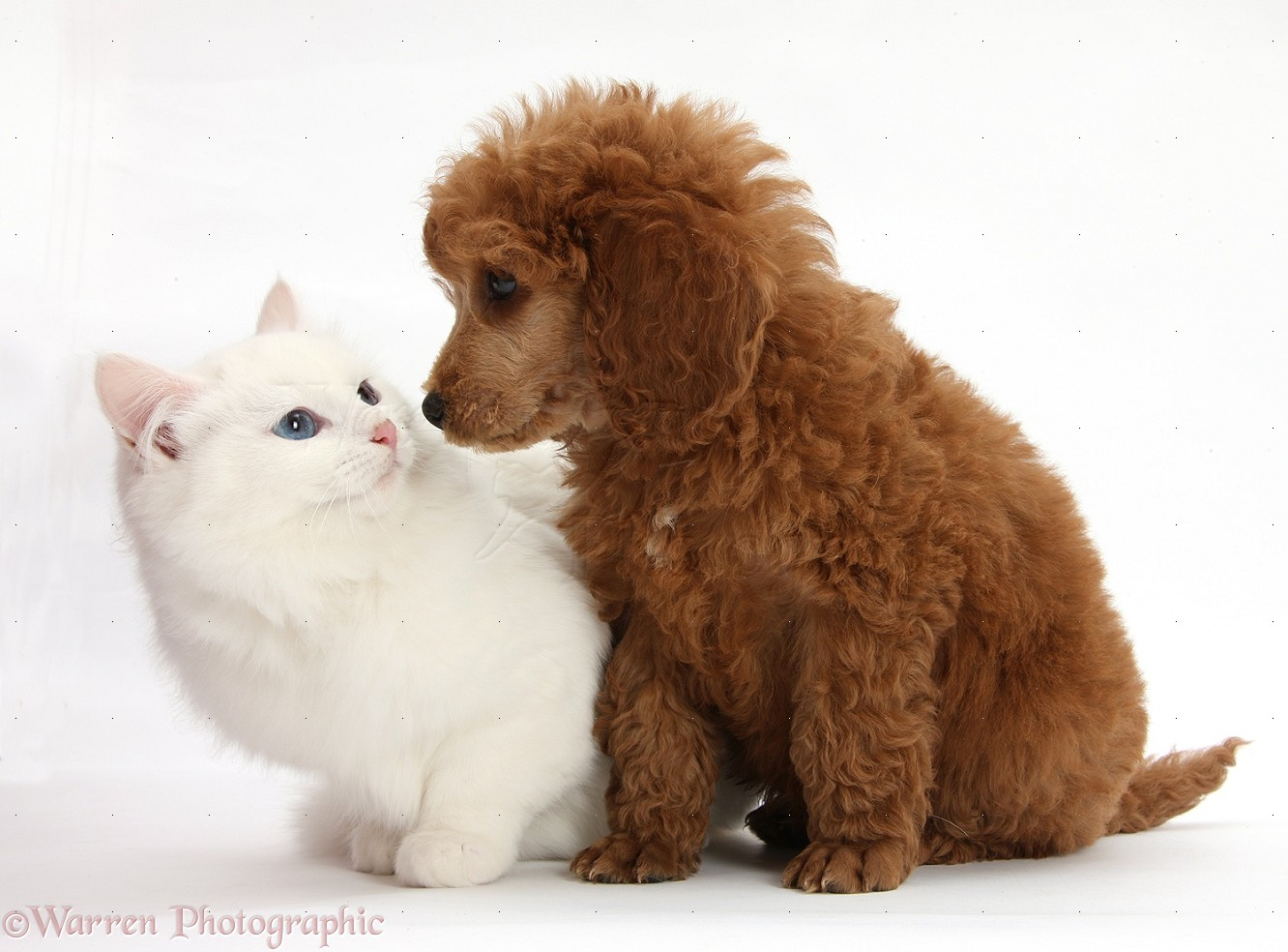 Pets Apricot Miniature Poodle Pup And White Kitten Photo