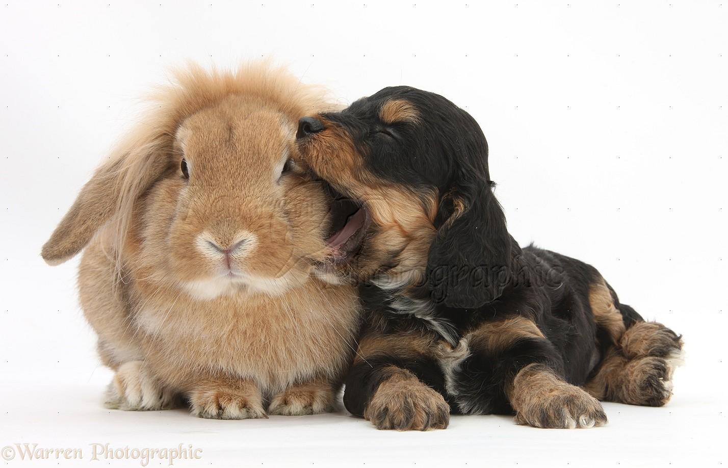 Pets Cockapoo Pup And Lionhead Lop Rabbit Photo Wp29236